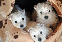 Westies! You can't have just one! / Westies are the best breed in the world, I know some may disagree, but in my opinion no other dog is equal...they are funny, loyal, hard to keep white because of their inquisitive nature and all out the best ever!  Everyone should have one!  The only problem is....you cant just have one, they are too special! / by Jackie Hawkins