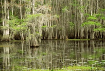 Caddo Lake State Park / Photography for the Design and Hospitality Industry - Caddo Lake State Park in east Texas - Cypress tree swamp with Spanish Moss and wildlife - Texas Photographer - All images shot by David Kozlowski.  All rights reserved. / by Dallas Photoworks