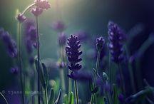 Lavender Forever  / by Novira Camelia