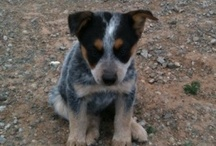 I love my Blue Heeler / by amy Crum