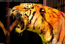 Tiger Tiger | ARKlady / I happen to love #tigers and the first big #cats I worked with? Uh tigers of course! / by ARKlady