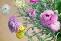 Ranunculus / by Elysa Casey