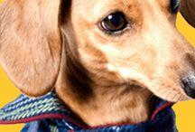 Doggie Dachshund Stuff / Pets - Dachshund / by Myra Haddad