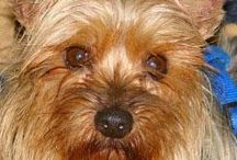 Yorkies / by Aprile Soderquist