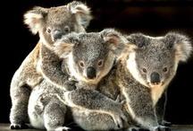 Koalas (cute) / by Simon Crerar