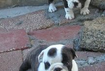 bulldogs / by Mea Graham