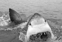 Sharks / by Lile Blackwell