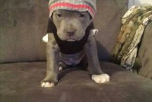 pit bull / by jass bravo