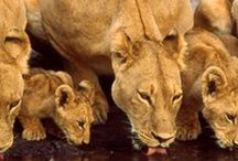 Brul voor de leeuw! / In samenwerking met GaiaZOO Kerkrade, Safaripark Beekse Bergen, DierenPark Amersfoort en Burgers Zoo, start Stichting SPOTS in de zomermaanden de landelijke 'brulactie'. Om aandacht te vragen voor de afname van de leeuwen. Maak een filmpje voor de leeuw!  Dit filmpje kan vervolgens geplaatst worden op onze facebook-pagina. De actie duurt tot 6 september 2013 / by stichting SPOTS