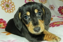 Dachshund Photography / Dachshund photography taken by me or past puppy buyers / by Alex Wiley