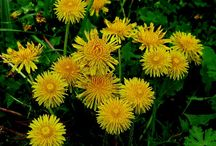 dandelions / by Donna Nielsen