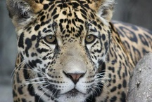 Jaguars' First Birthday / Jaguar cubs Chac and Kabah celebrated their 1st birthday at the Tulsa Zoo! / by Tulsa Zoo