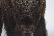 animals - buffalo / where the buffalo roam / by Erica Birnbaum