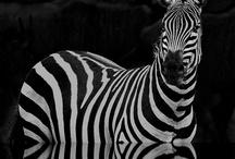 Zebras / by Bettina Meier