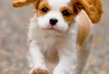 Cavalier King Charles Spaniel / by Julie Copeland