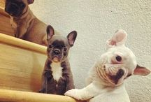 French Bulldogs / by Patricia Clarke