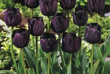 For My Bizarro Black and Blue Garden / On my shopping list for my ultimate backyard haven. I love black, blue, and green flowers - as well as unusual shapes and rare types of flora. / by Carly J. Cais of Chic Steals