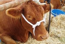 4-H Livestock / by Mandie Gassett