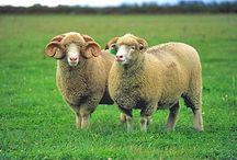 Sheep / by Belliacres Homestead