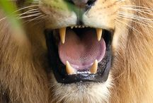 Lions / by Shelly Shuler