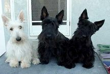 Scotties (the other Westies) / by PrestonSpeaks.com A Blog From a Dog's Point of View