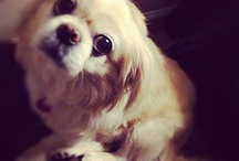 Prissy Pekingese / by Michelle Lundy