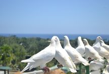 FREE-FLYING WHITE DOVES / GarinFarm, the only place in the world with more than 1,000 free-flying white doves!  / by Garin Farm