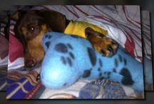 i love dachshund / My love for this awesome dogs is with no boundaries. I do have a pair and they give me true happiness each day.  / by YEh Dalag