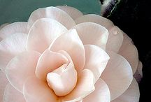 camellias / by Connie Foulker