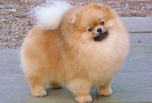 Cute Pomeranian pics / by Elaine PomRescue