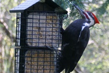 woodpeckers amuse me / by ~ cheryl mendenhall