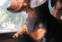 Cute Dogs :: Dachshund / by Miriam Spain