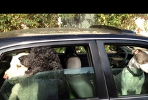 Dogs + / I love our Standard Poodles + other doggies! / by Virginia Johnson