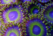 Sea Anemones / Sea Anemones / by GlassPeace
