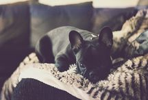 French bull dog / by Chelsea Case