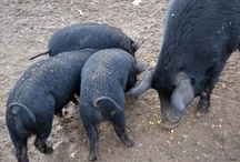Mulefoot Hogs / NOT the other white meat! While we raise breeding stock specifically, we also put a few in the freezer. Mulefoot hog meat is red, sweet and well-marbled. As with any food animal, a lot depends on how they are fed. / by Kathleen Collins