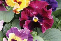 Pretty Pansies / by Paula McKeeton Hemingway Chirillo