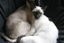 Siamese / by Christine Ruggle
