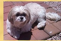 Rescue Shih Tzus in Phoenix area / by Gail Johnson
