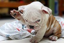 Bulldog Love / by Jennifer Ellis