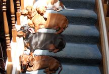 Doxies! Doxies! Doxies! / by Melissa Richmond Helfer