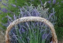 Lavendel / by Hans Roege