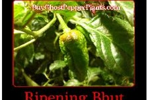 Pre-Order Moruga Scorpion Plants / by Bhut Jolokia