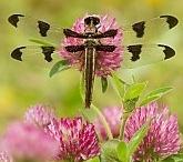 Dragonflies / by Tricia Janzen