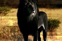 Lions / by Grace Barbosa