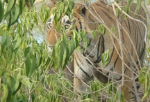 Courtesy by Siddharth Vyas / by Ranthambore National Park