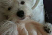 My Westie Lucy / by Katie Lukovich