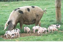 Here Piggy Piggy ! / by Sharon Stuebi