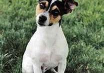 Jack Rat Terriers / by Valerie Stewart