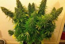 Garden  / by Cannabis Now Magazine